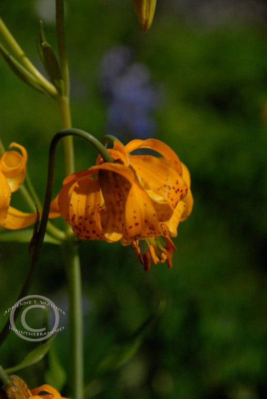 Tiger Lily - Lilium tigrinum