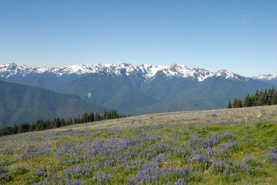 Purple lupine – Lupinus pernnisAmerican Bistort -Polygonum bistortoide