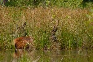 Roosevelt Elk - Cervus elaphus roosevelti