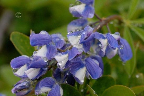 Wild Lupine - Lupinus perennis
