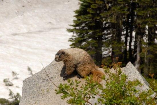 Hoary Marmot -