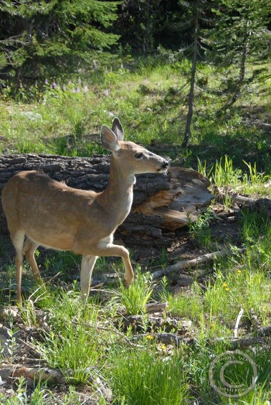 Columbia blacktail deer- Odocoileus hemionus columbianus