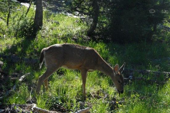 Columbia blacktail deer - Odocoileus hemionus columbianus