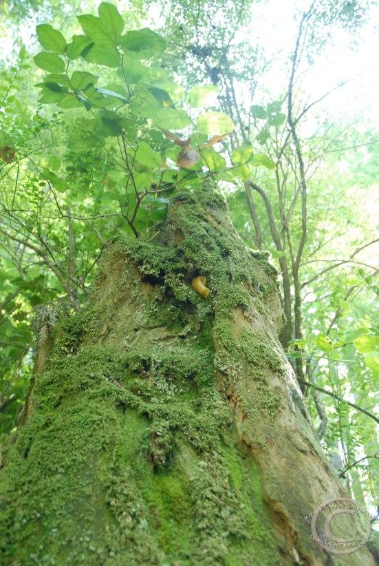 Can you see the banana slug hangin' out on The Stump?