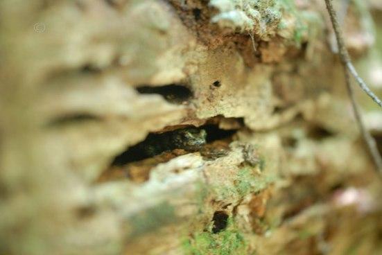Wandering Salamander - Aneides vagrans