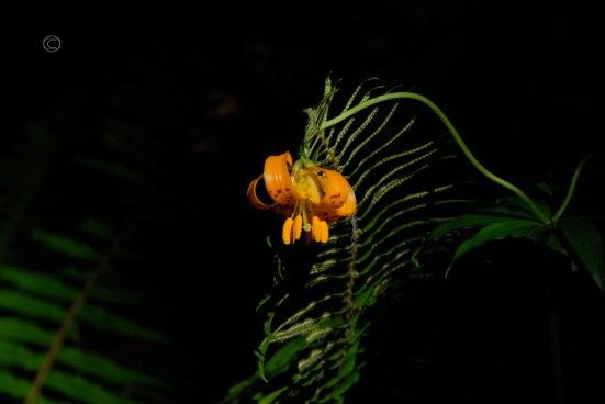 Tiger Lily - Lilium lancifolium