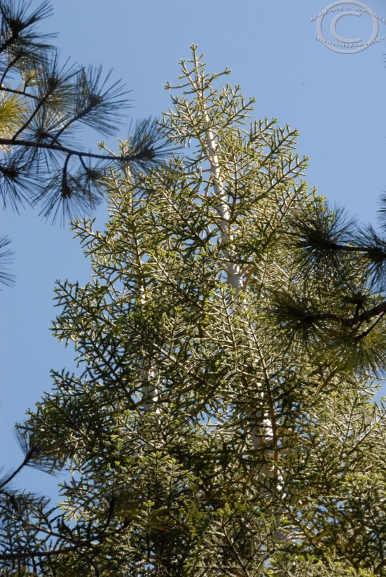 The Digital Trees return!  White fir (Abies concolor)