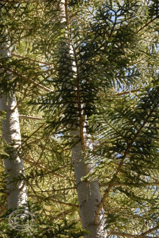 White fir (Abies concolor)