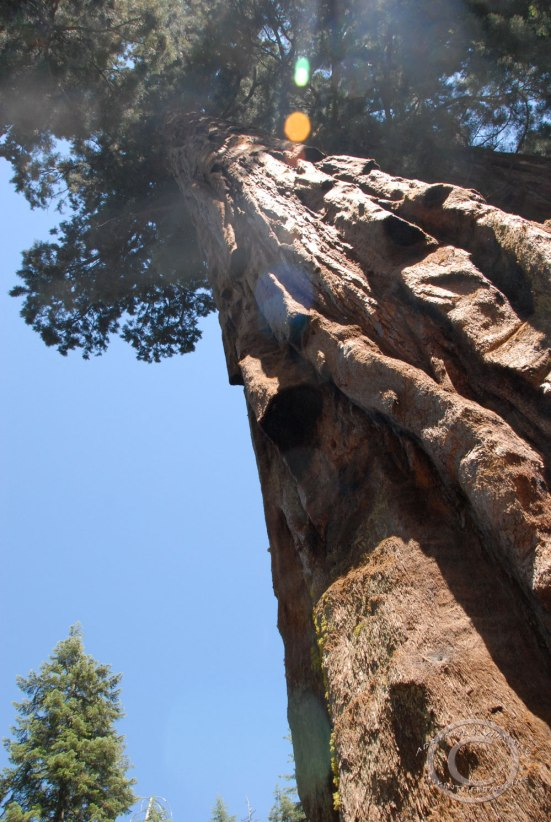 Roadside Sequoia