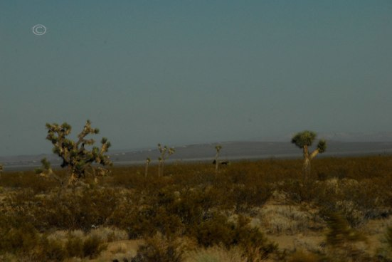 Joshua Tree -Yucca brevifolia (Photo by D.R.J.)