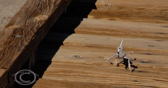 Zebra-tailed lizard (callisaurus draconoides)