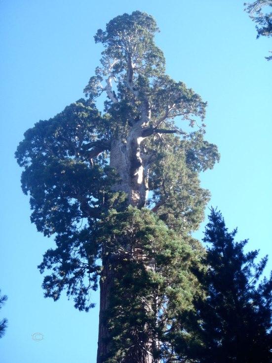 Genernal Grant Tree
