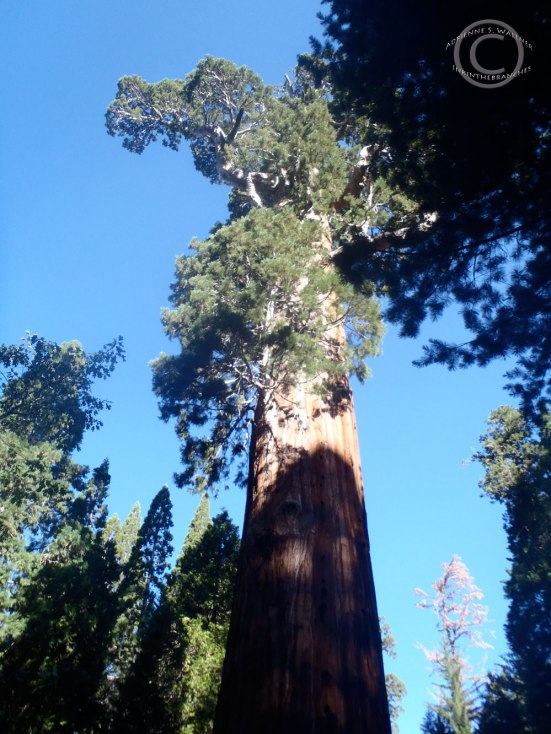 General Grant Tree - Sequoia (Sequoiadendron giganteum)