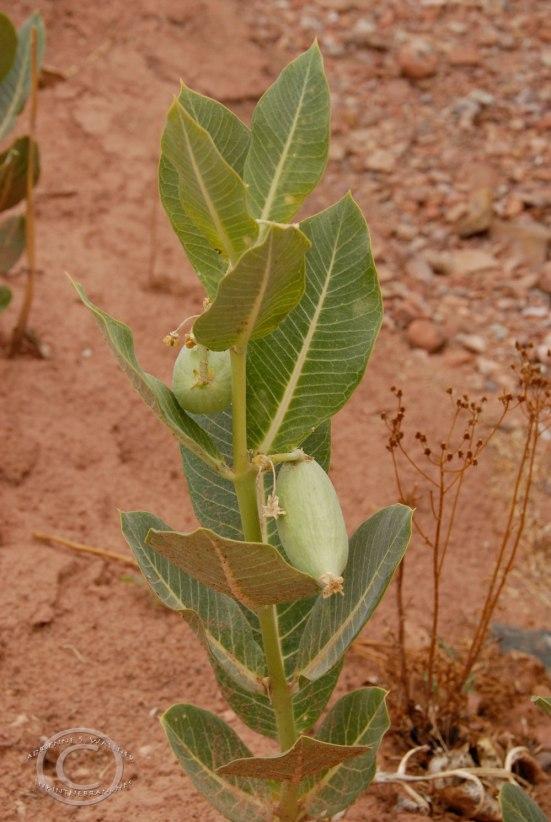 Broad-leaved Milkweed (Asclepias speciosa)