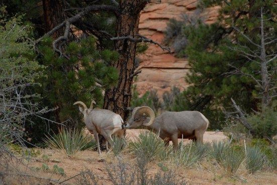 Female and Male Desert Bighorn Sheep (Ovis Canadensis Nelsoni)