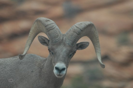 Male Desert Bighorn Sheep (Ovis Canadensis Nelsoni)