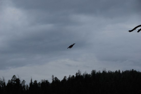 Northern Flicker (Colaptes auratus) - Black Birch Canyon, Bryce Canyon