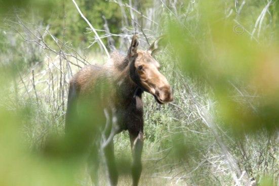 Moose No. 5