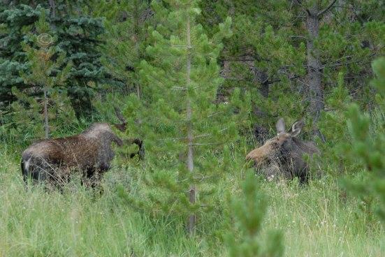 Moose No. 5 and Moose No. 2