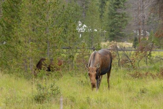 More moose!
