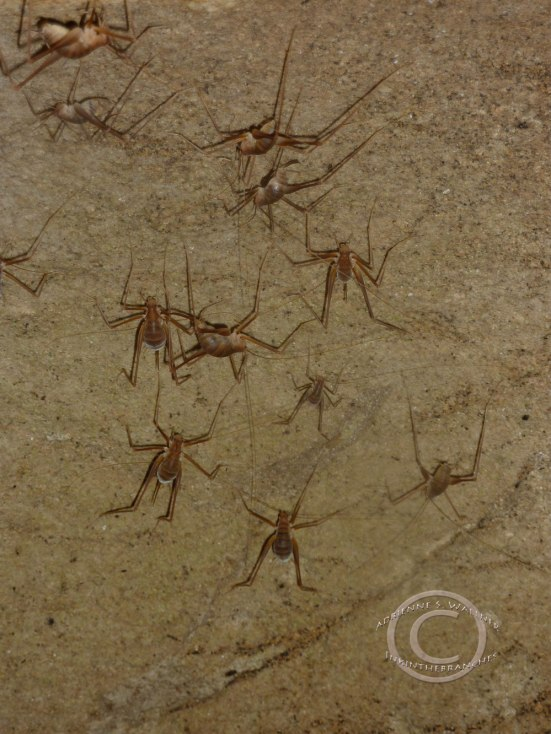 Cave Crickets - Rhaphidophoridae