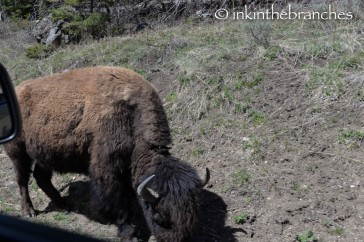 Bison right beside us