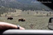 Bison locking horns